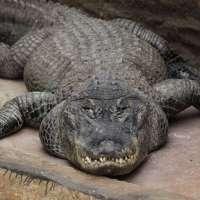دیکهےمگرمچھ اور ایناکونڈا کا چرغا                Crocodile and anaconda BBQ