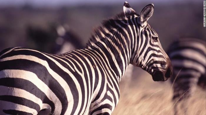 160808124950-zebra-exlarge-169